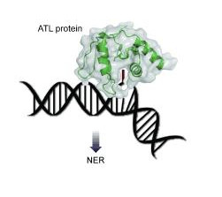 atl_proteins_and_dna_repair-2.jpg